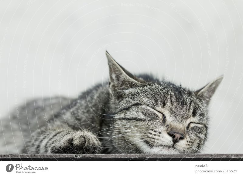 Cat lies asleep on the floor Animal Pet Farm animal Animal face Pelt Claw Paw 1 Baby animal Brown Gray Domestic cat Tabby cat Tiger skin pattern Relaxation Calm