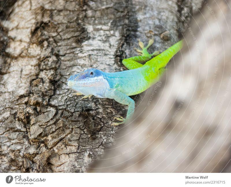 anolis allisoni Animal Tree Cuba Wild animal Lizards Gecko Anolis 1 Blue Green Nature Curiosity Cienfuegos Central America Province of Cienfuegos Illuminate
