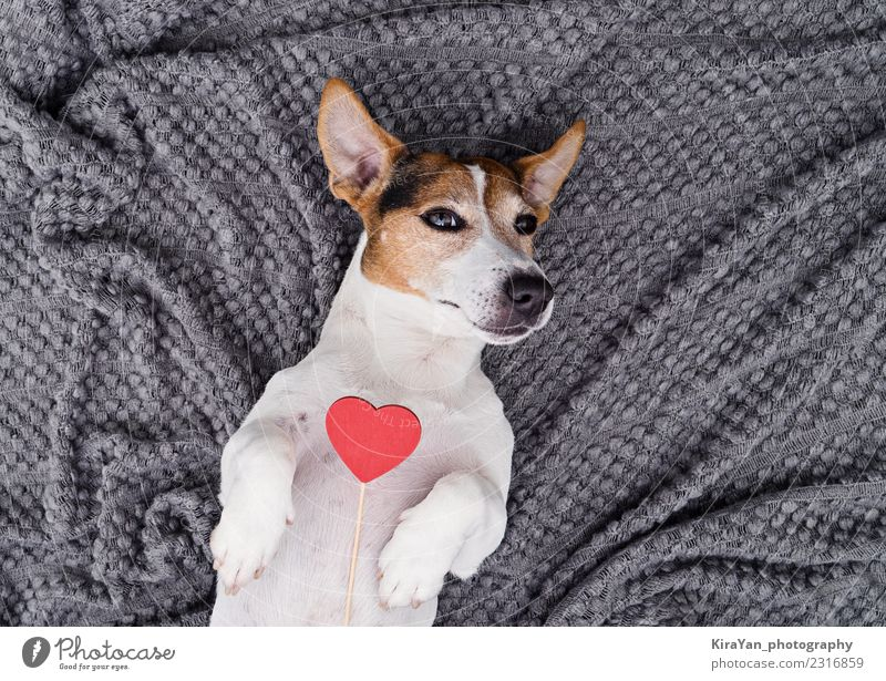 Adorable dog with red heart Dog Red Animal Lifestyle Love Funny Family & Relations Small Feasts & Celebrations Gray Above Copy Space Friendship Birthday Heart