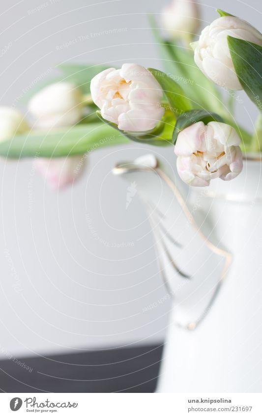 White Flower Blossom Pink Decoration Blossoming Tulip Jug