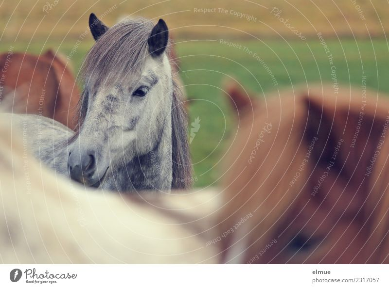 Icelanders Island Horse Gray (horse) Iceland Pony small horse Mane Ear Nostrils Communicate Looking Stand Elegant Beautiful Happy Contentment Trust