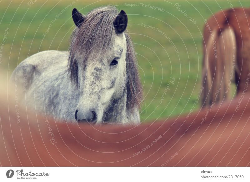 Icelanders Island Horse Iceland Pony Gray (horse) Pelt Mane Ear Listening Communicate Looking Athletic Elegant Beautiful Natural Happy Power Trust