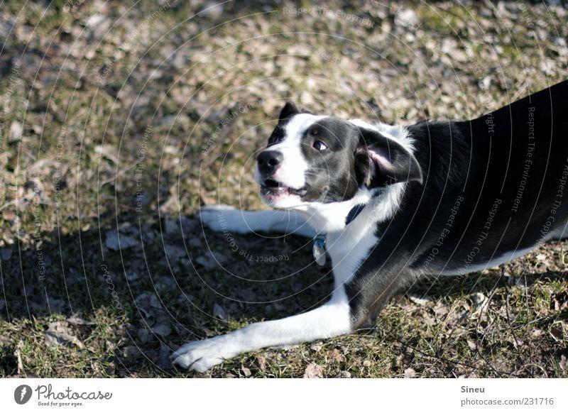 Invitation to dance Animal Pet Dog 1 Playing Brash Happiness Funny Crazy Black White Joy Enthusiasm Curiosity Interest Joie de vivre (Vitality) Growl Crossbreed