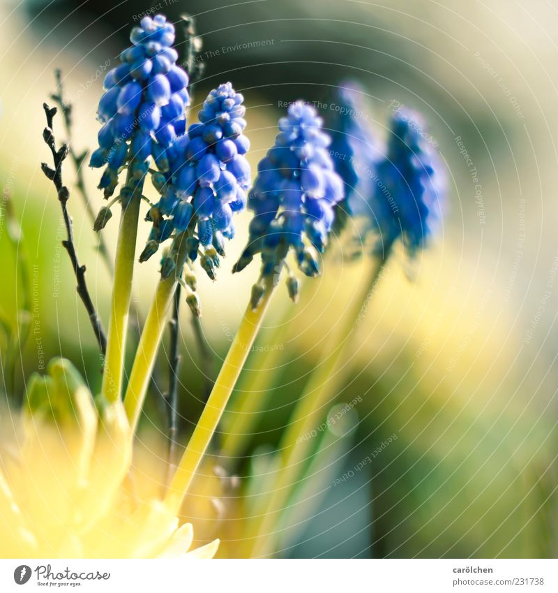 Nature Blue Green Plant Yellow Spring Blossom leave Flower Spring flower Spring flowering plant