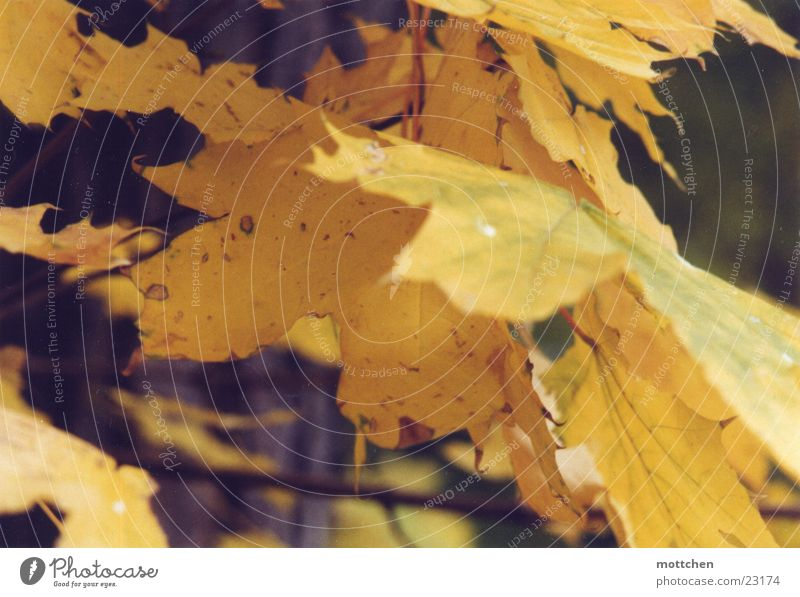 Leaf Yellow Autumn Gold Autumn leaves Maple tree