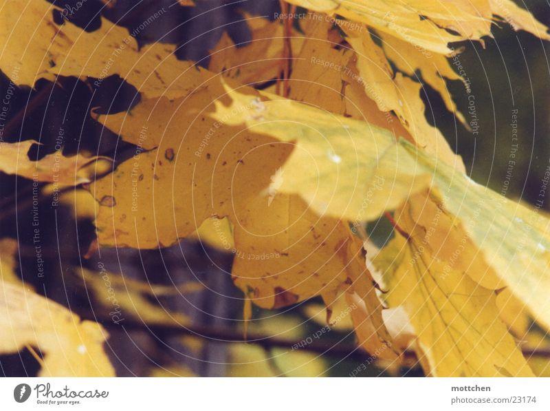 Leaf Yellow Autumn Gold Autumn leaves Maple tree