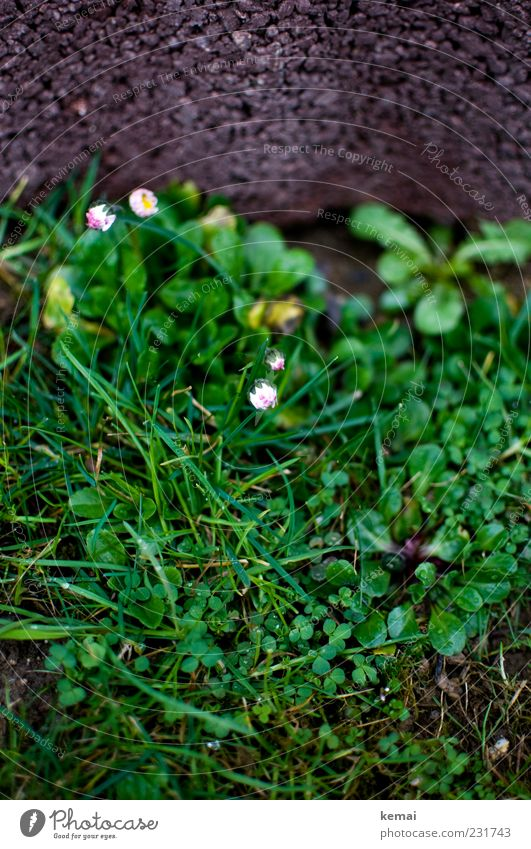 Nature Green Plant Leaf Meadow Environment Grass Blossom Stone Spring Growth Blossoming Beautiful weather Dandelion Blade of grass Daisy
