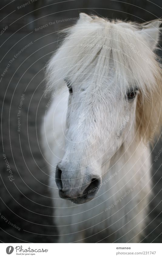long white face Freedom Animal Farm animal Horse 1 Looking Stand Friendliness Near White Contentment Trust Loyal Sympathy Gray (horse) Iceland Pony Pelt