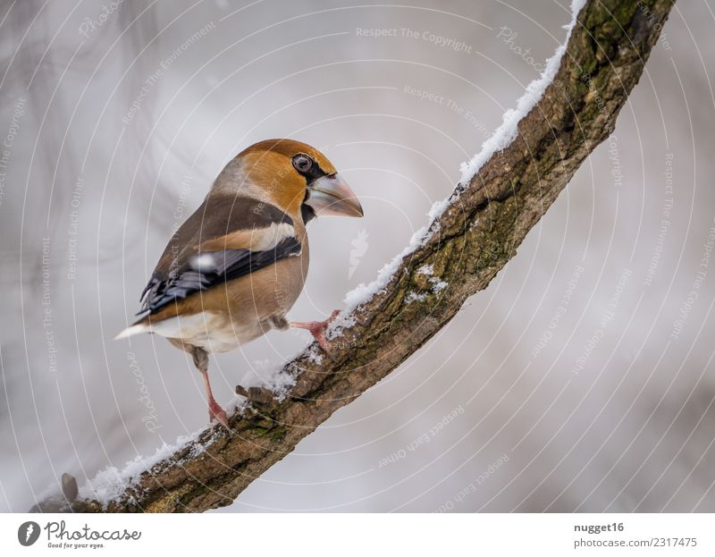 Hawfinch on a branch Environment Nature Animal Winter Ice Frost Snow Snowfall Plant Tree Branch Garden Park Forest Wild animal Bird Animal face Wing Claw 1