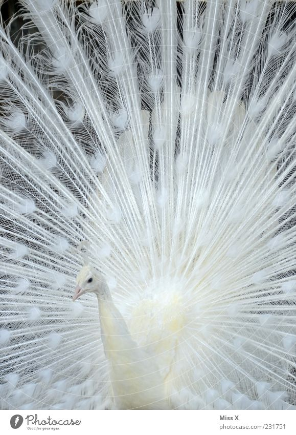 White Animal Bird Esthetic Feather Metal coil Pride Arrogant Peacock Rutting season Boast Splendid Pattern Albino Peacock feather