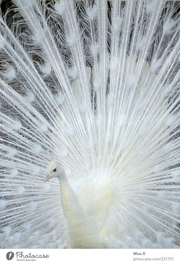 White Animal Bird Esthetic Feather Metal coil Pride Arrogant Peacock Rutting season Boast Splendid Pattern Albino Peacock feather