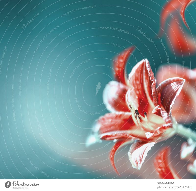 Red lily on blurred turquoise background Style Design Summer Feasts & Celebrations Plant Flower Blossom Decoration Bouquet Sign Blue Pink Turquoise
