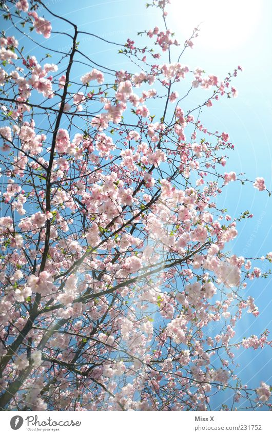 sunshine Nature Spring Weather Beautiful weather Tree Blossom Blossoming Fragrance Bright Positive Pink Spring day Ornamental cherry Cherry tree Cherry blossom