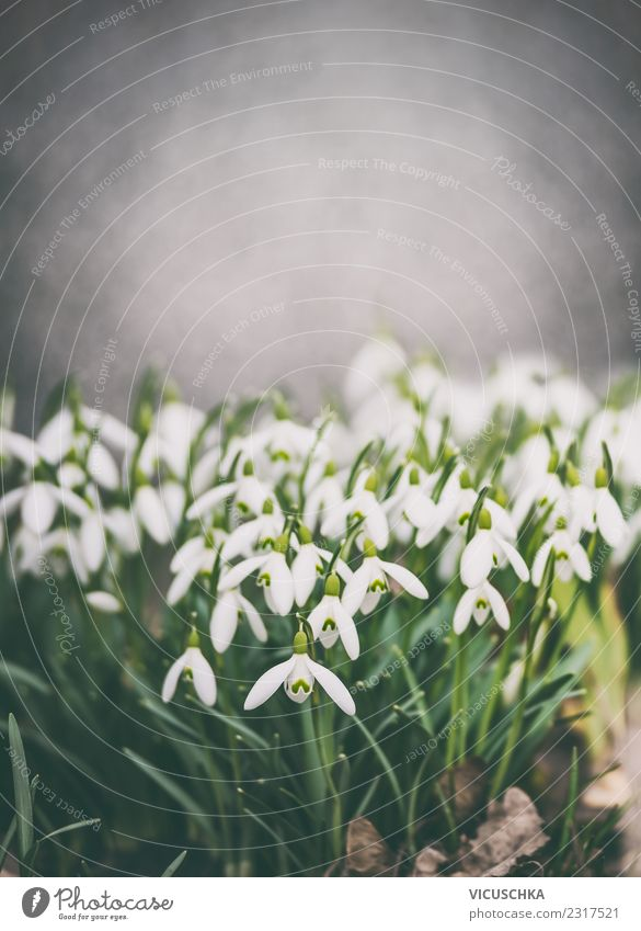 Snowdrops , Spring Nature Design Summer Garden Plant Flower Park Blossoming Background picture Colour photo Exterior shot Close-up Copy Space top Day Evening