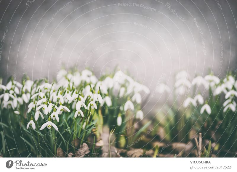Snowdrops flowerbed in the spring garden Design Summer Garden Nature Plant Spring Flower Blossom Park Blossoming Moody Spring fever Background picture Flowerbed
