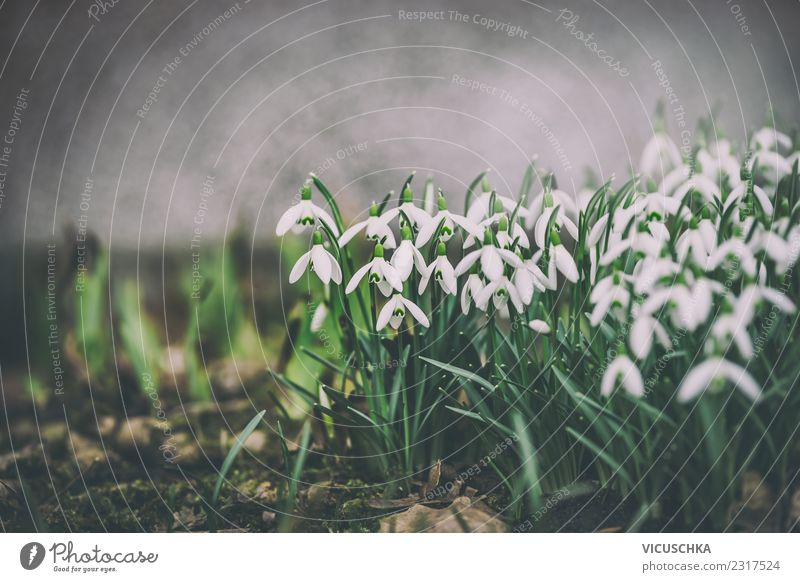 Snowdrops on a flower bed Design Garden Nature Landscape Plant Spring Flower Leaf Blossom Park Meadow Retro Green White Background picture Flowerbed Twilight