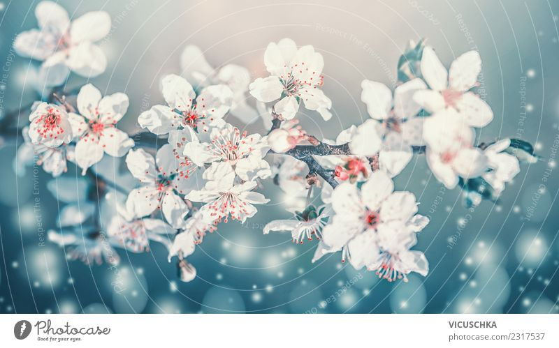 Beautiful spring flowers close-up Lifestyle Design Garden Nature Plant Sky Beautiful weather Blossom Park Bouquet Blossoming Blue Turquoise White Cherry blossom