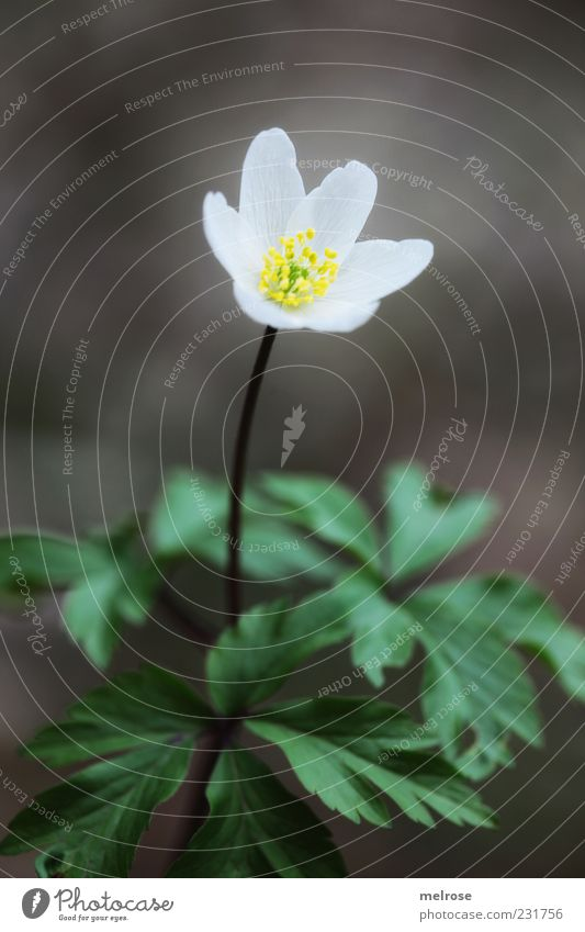 """ Lonely "" Calm Environment Nature Plant Spring Flower Leaf Blossom Wild plant Wood anemone Spring flower Anemone Brown Yellow Green White Colour photo"