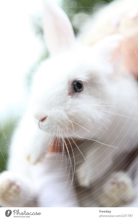 Beautiful White Animal Bright Nose Ear Pelt Pet Hare & Rabbit & Bunny Paw Farm animal Comfortable Easter Bunny Indifferent Scaredy-cat
