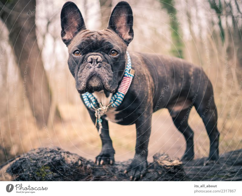 Barnie II Animal Pet Dog French Bulldog frenchie Frenchy 1 Looking Stand Brown Black Colour photo Subdued colour Exterior shot Day Shallow depth of field