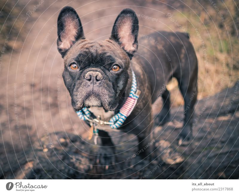 barnie Animal Pet Dog French Bulldog frenchie Frenchy 1 Thin Brown Black Colour photo Subdued colour Exterior shot Copy Space left Day Shallow depth of field