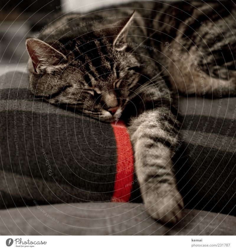 Cat Beautiful Red Animal Calm Relaxation Gray Contentment Lie Sleep Ear Animal face Pelt Fatigue Cozy Blanket