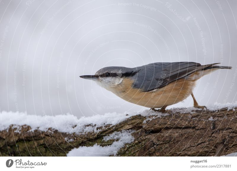Nuthatch in the snow Environment Nature Animal Winter Ice Frost Snow Snowfall Tree Branch Garden Park Forest Wild animal Bird Animal face Wing Claw