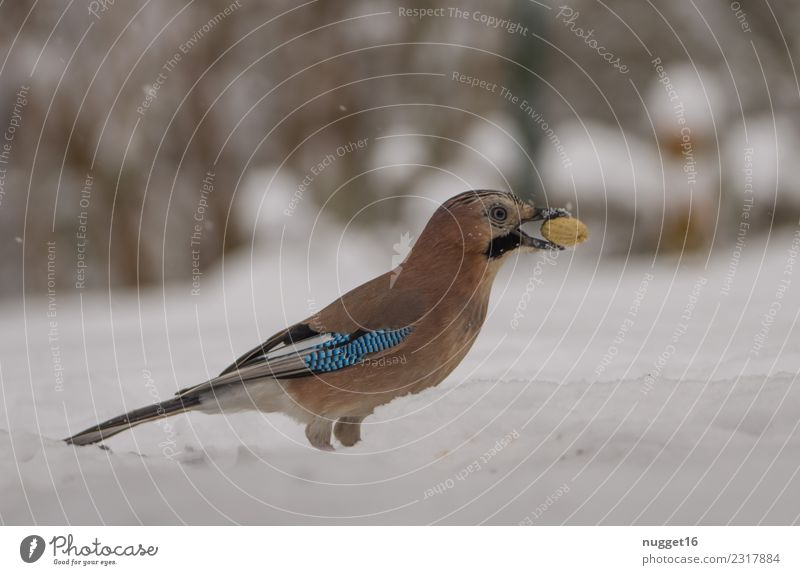 Jay in the snow Environment Nature Animal Winter Climate Weather Ice Frost Snow Snowfall Peanut Garden Park Meadow Forest Wild animal Bird Animal face Wing Claw