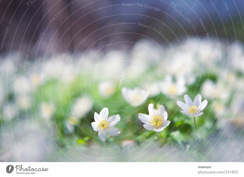 Nature Beautiful Plant Flower Small Spring Natural Exceptional Kitsch Delicate Blossom leave Spring fever Wild plant Spring flower Spring flowering plant
