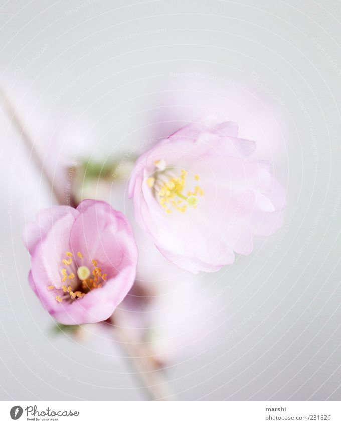 Nature White Plant Flower Blossom Spring Pink Delicate Blossom leave Switch Cherry blossom