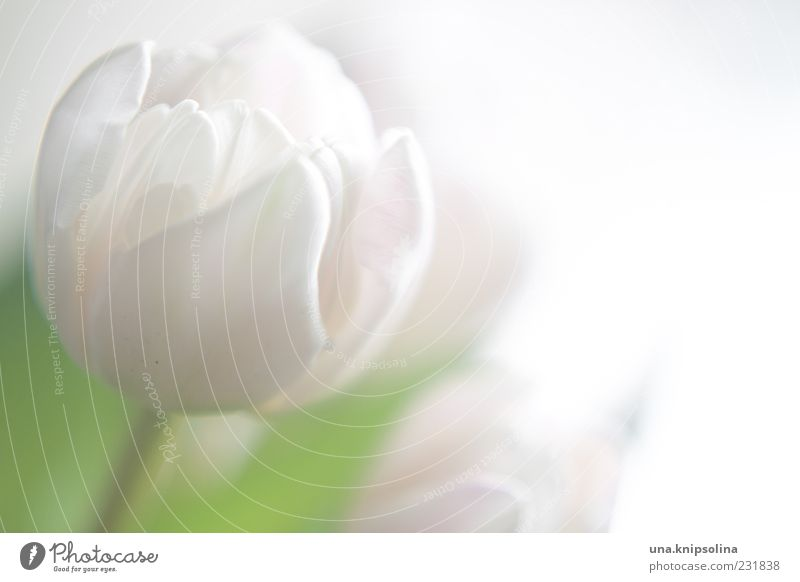 white Flower Tulip Blossom Blossoming Green White Delicate Blossom leave Blur Copy Space right Colour photo Subdued colour Close-up Deserted Light Back-light