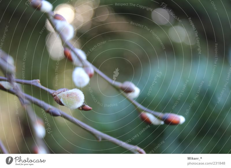 Nature Tree Plant Garden Spring Soft Delicate Smooth Bud Anticipation Twigs and branches Joy Catkin