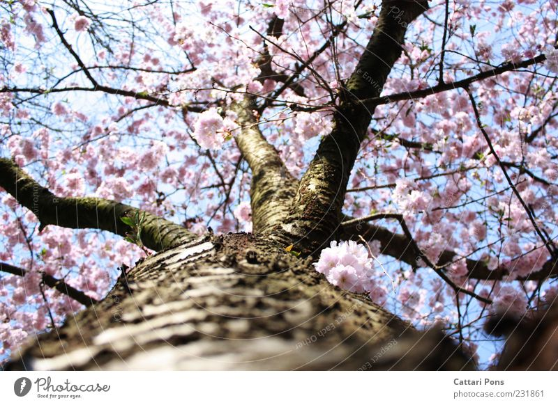 cherry blossom Nature Plant Tree Leaf Blossom Blossoming Growth Beautiful Pink Spring fever Tree bark Wood Tree trunk Cherry blossom Fresh Bright Colour photo