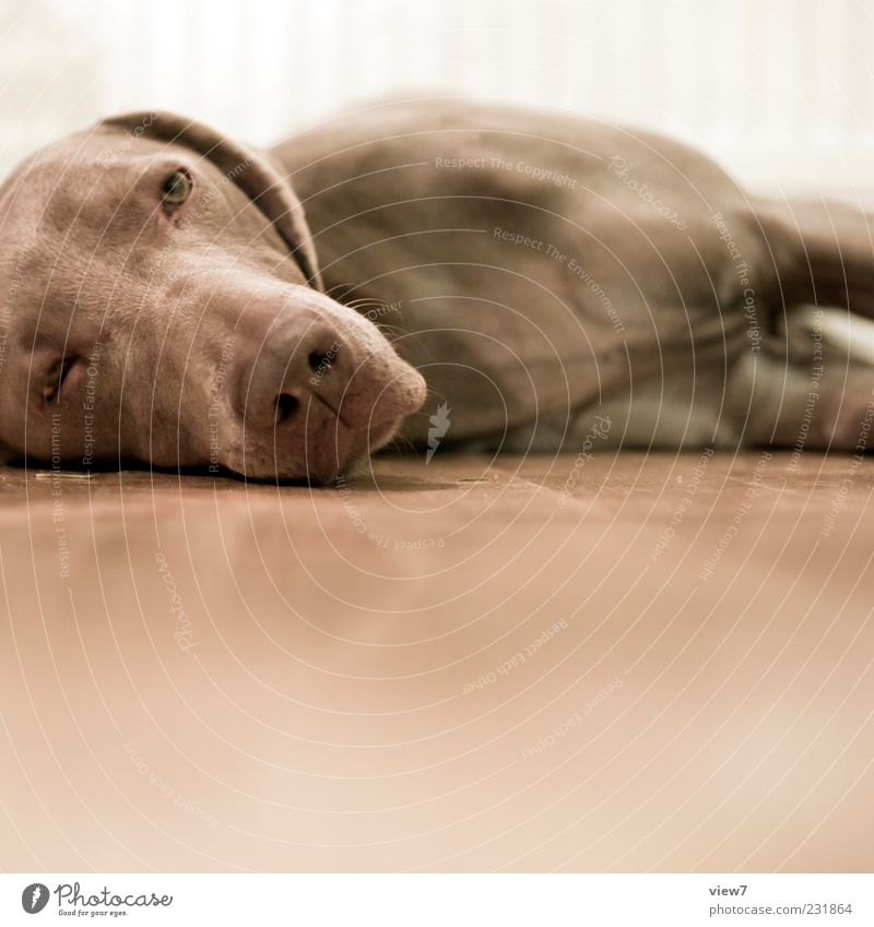K.O. Animal Pet Dog Animal face 1 Wood Observe Relaxation To enjoy Lie Looking Sadness Esthetic Authentic Simple Brown Weimaraner Goof off Sleep Snout