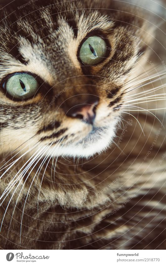 Tiger cat with green eyes Animal Pet Cat Animal face 1 Glittering Threat Wild Soft Pelt Tiger skin pattern Green Turquoise Snout Cat eyes Eyes Whisker Looking