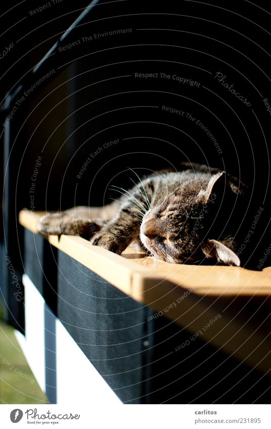 Cat Old White Beautiful Black Calm Relaxation Warmth Happy Dream Brown Contentment Natural Lie Free Sleep