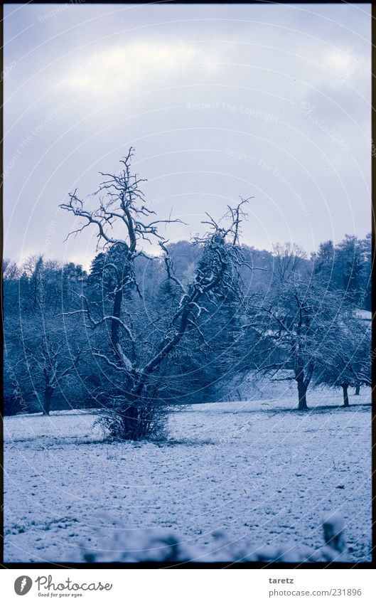 hibernation Snow Meadow Old Dark Cold Snow layer Winter Blue Snowscape Romance Calm Headstrong Rooted Gnarled Tree Colour photo Subdued colour Exterior shot