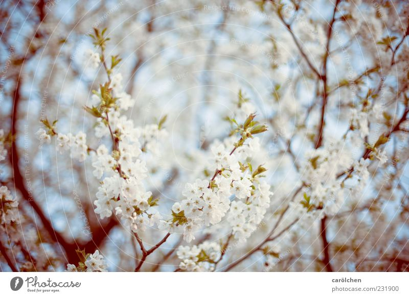 spring! Environment Nature Spring Tree Agricultural crop Garden Blue Green White Cherry tree Cherry blossom Blossom Blossoming Branch Twigs and branches Easy