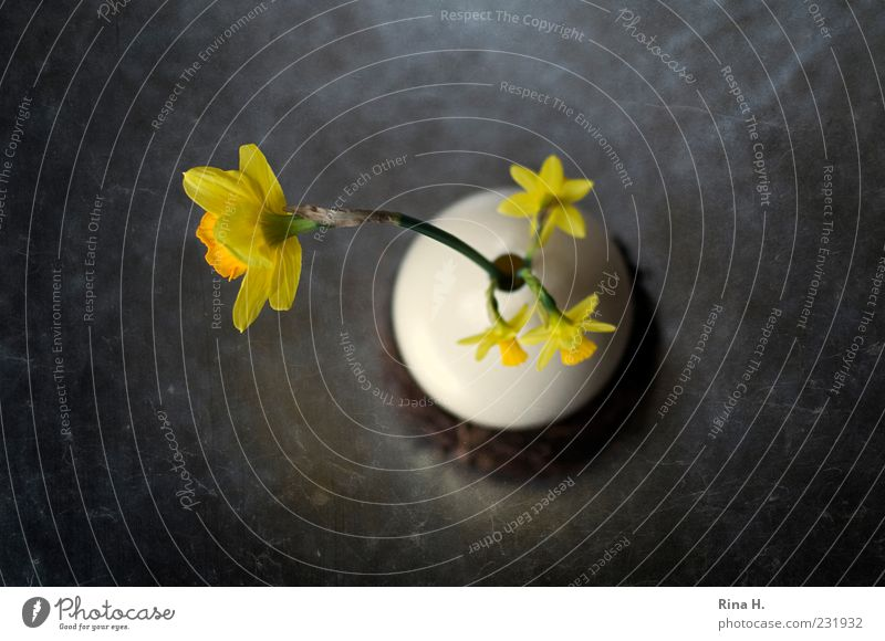 EasterStill Lifestyle Spring Flower Blossom Narcissus Decoration Blossoming Yellow Vase Wild daffodil Art Egg Colour photo Interior shot Deserted