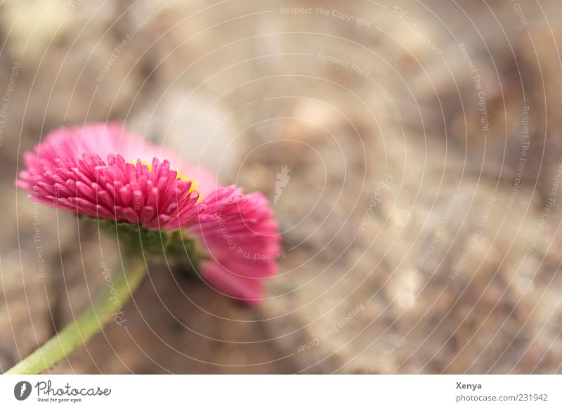 pink Plant Flower Blossom Daisy Green Pink Spring fever Colour photo Exterior shot Macro (Extreme close-up) Copy Space right Copy Space top Day Blur Deserted