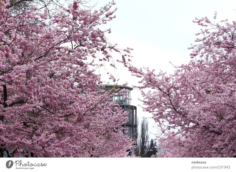 Nature Summer Relaxation Blossom Spring Pink Facade Blossoming Goettingen Fragrance Harmonious Cherry Cherry blossom Spring fever University of Goettingen