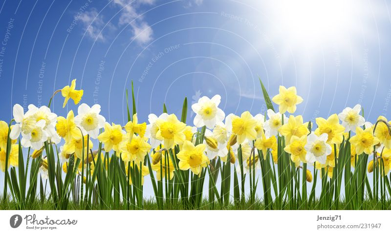 Daffodil field. Nature Plant Sky Sun Beautiful weather Flower Blossom Meadow Blue Yellow Green Spring fever Wild daffodil Narcissus Spring flowering plant