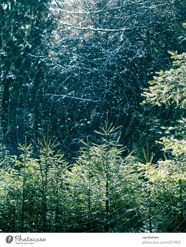 Snow in spring Nature Forest Blue Green Coniferous forest Precipitation Sunlight Colour photo Exterior shot Deserted Snowfall Mirkwood