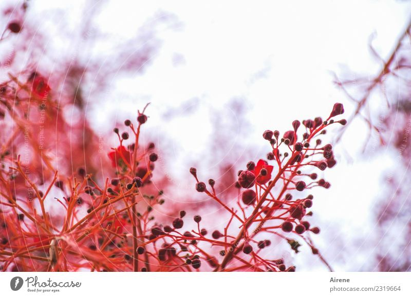 Nature Plant Colour Tree Red Eroticism Blossom Growth Beginning Blossoming Romance Exotic Bud Twigs and branches