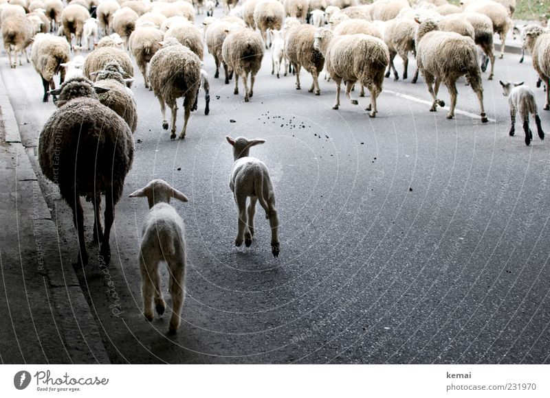 sheep procession Environment Nature Traffic infrastructure Street Lanes & trails Animal Farm animal Pelt Sheep Group of animals Herd Asphalt Running Movement