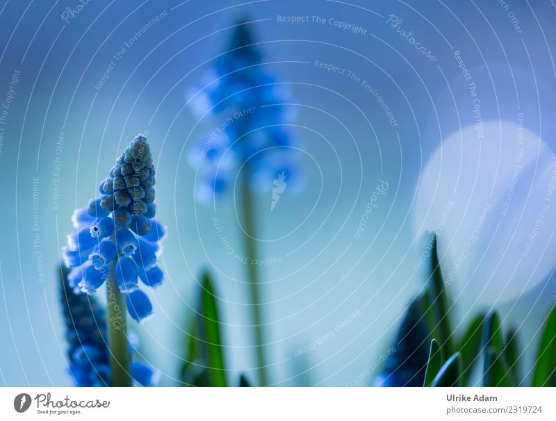 Spring - Macro flowers of blue grape hyacinths (Muscari) Life Harmonious Well-being Contentment Relaxation Calm Meditation Wallpaper Easter Nature Plant Flower