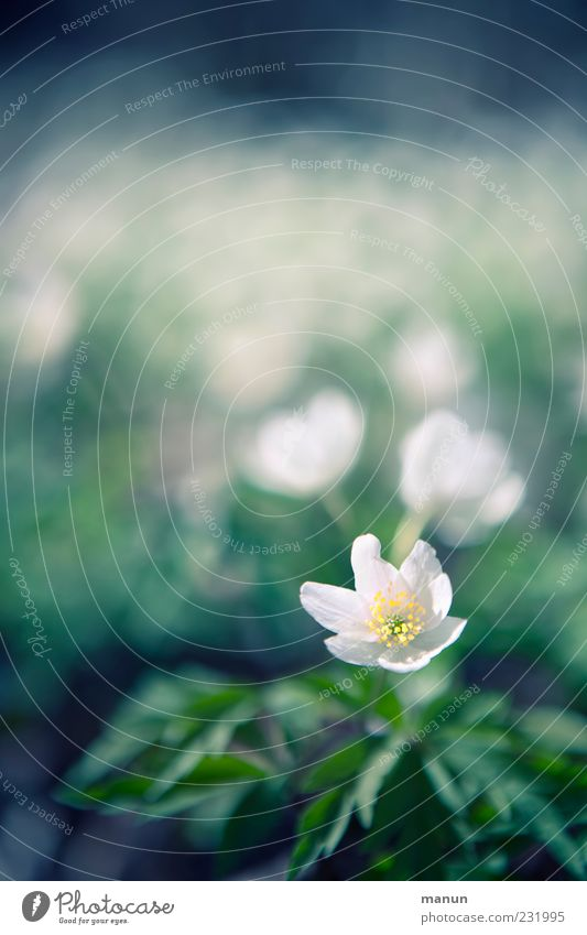 Nature White Beautiful Flower Leaf Blossom Spring Bright Natural Exceptional Many Fragrance Blossom leave Spring fever Wild plant Spring flower