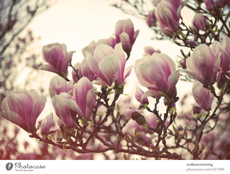 Nature Beautiful Plant Leaf Environment Blossom Spring Moody Pink Esthetic Growth Change Transience Blossoming Magnolia plants Seasons