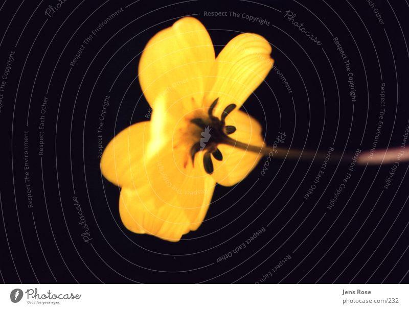 Sun Yellow Blossom