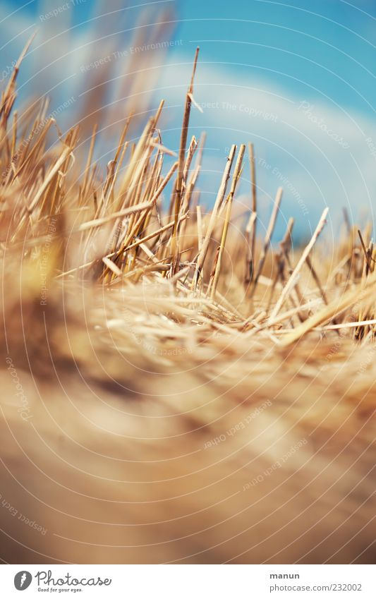 straws Agriculture Forestry Nature Sky Summer Warmth Plant Stubble field Insubstantial Straw Harvest Blade of grass Field Wheatfield Authentic Simple Natural